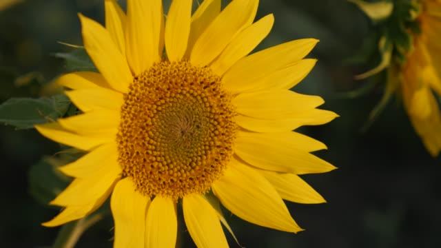 vídeos de stock, filmes e b-roll de close-up pétalas amarelas de belo girassol contra céu azul 4k - flor temperada