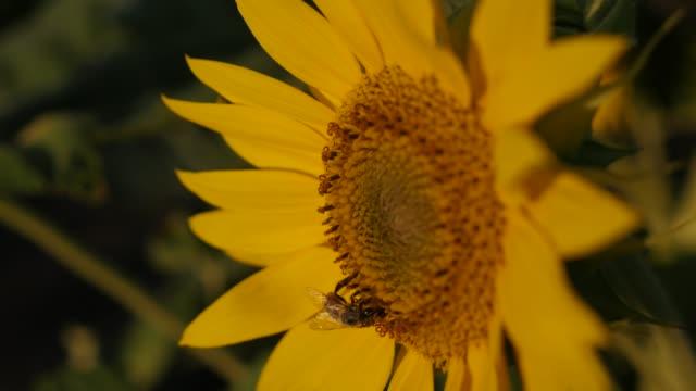vídeos y material grabado en eventos de stock de primer plano pétalos amarillos de hermoso girasol contra el cielo azul 4k - insecto himenóptero