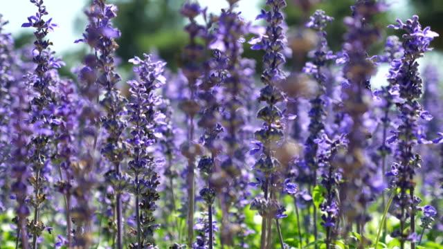 Close-up:Lavender Fields