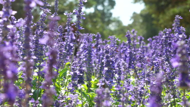 close-up:lavenders flowers - naturopathy stock videos and b-roll footage
