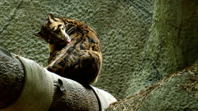 clouded leopard sitting and licking fur. neofelis nebulosa grooming - уход за поверхностью тела у животных стоковые видео и кадры b-roll