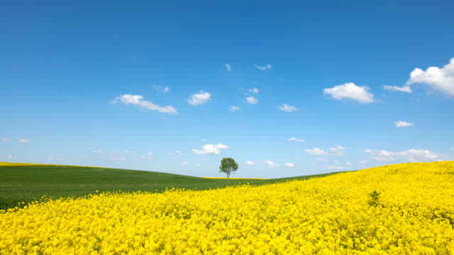 clouds floating above the lonely tree in a canola field (time-lapse)