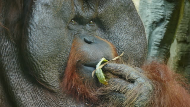 clouse-up on orangutan. - primate video stock e b–roll