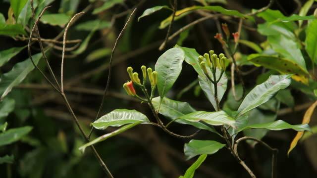 Clove tree video