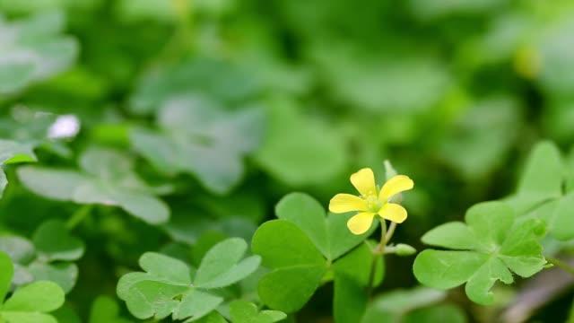 vídeos de stock, filmes e b-roll de trevo e pequena flor amarela na primavera - boa sorte