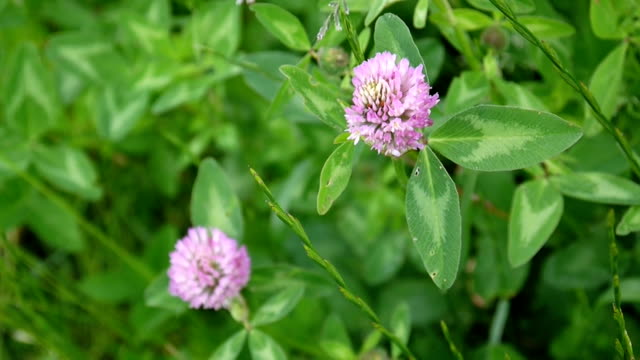 Clover blossom in a field in summer. Trifolium medium Clover blossom in a field in summer. HD video footage shooting of static camera. Trifolium medium. shamrock stock videos & royalty-free footage