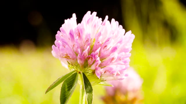 Clover flower on the meadow