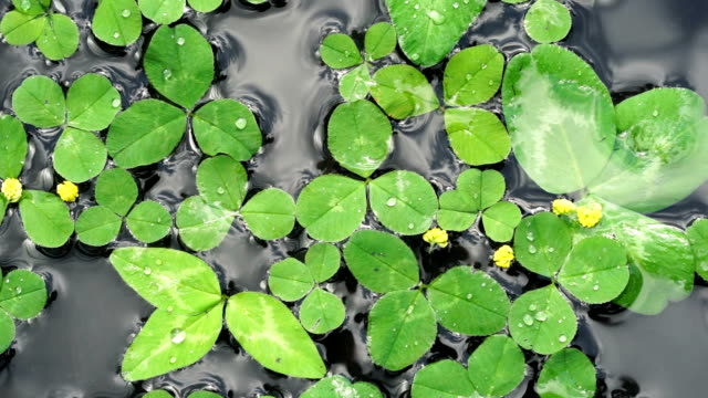 Clover leaves float on the surface of the water as a st patrick day background video