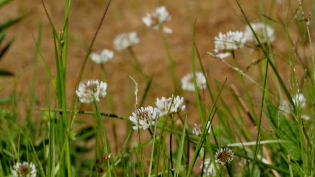 clover wildflowers