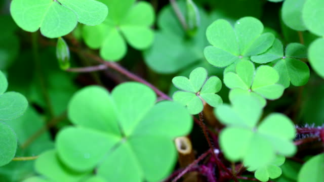 Clovers growing in time lapse