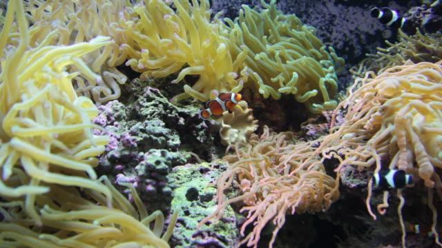 vidéos et rushes de poisson-clown à une 30 p hd - nageoire caudale