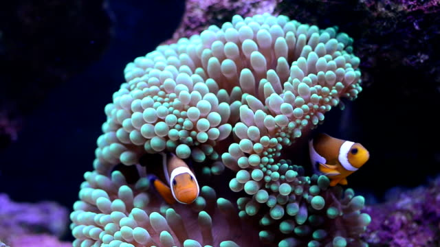 clown fish and anemone video