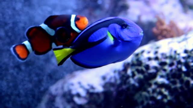 小丑魚在水族館與藍色唐影片