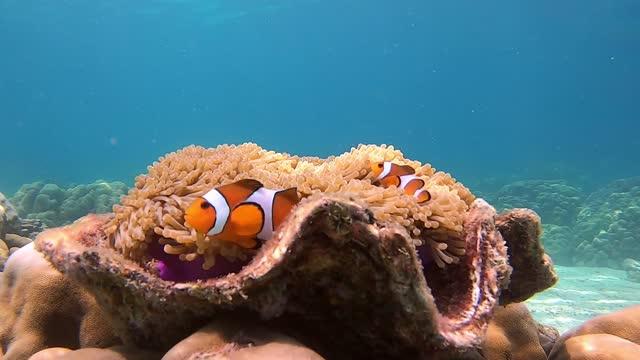 vídeos y material grabado en eventos de stock de peces payaso en la anémona en la concha. una pareja de peces anémonas nadando bajo el agua. - coral cnidario