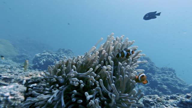 palyaço balık (amphiprion ocellaris) sualtı deniz anemone içinde - i̇htiyoloji stok videoları ve detay görüntü çekimi