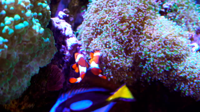 Clown Fish swimming next to amoeba in Tropical Salt Water underwater landscape video