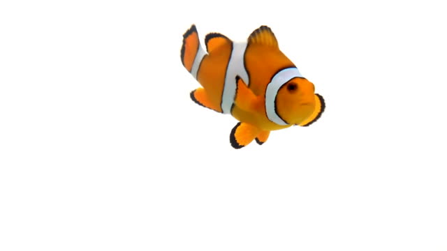 Clown fish swimming Clown fish swimming against a white background, in slow motion. fish stock videos & royalty-free footage