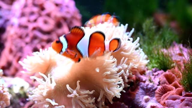 Clown fish Clown fish coral cnidarian stock videos & royalty-free footage