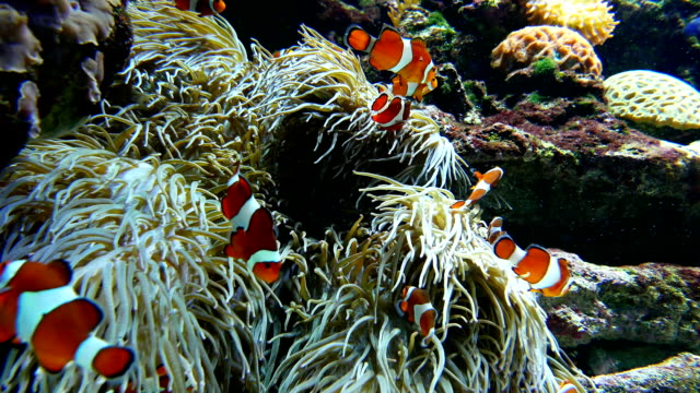 Clown fishes playing among anemone inside Vancouver aquarium video