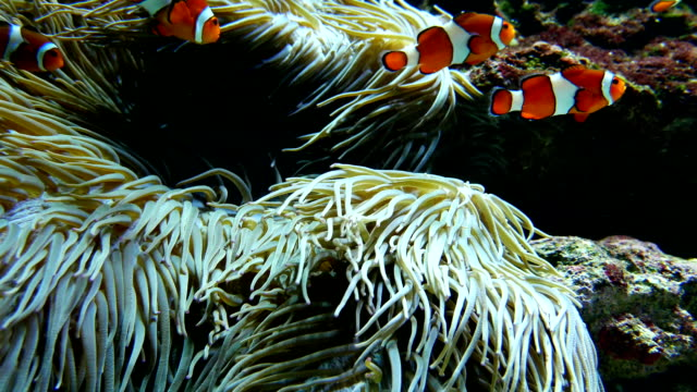 Clown fishes playing among anemone video