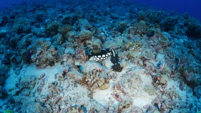 vídeos y material grabado en eventos de stock de ballesta payaso en arrecife de coral, palau - zona pelágica