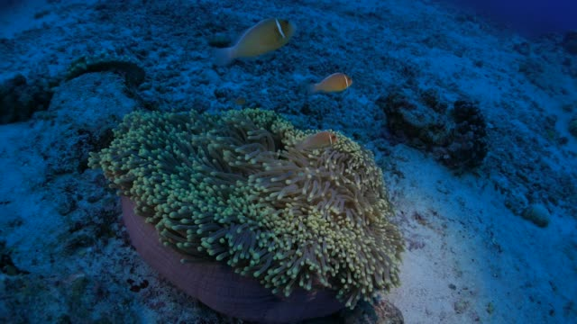Clownfish and sea anemone, symbiotic relationship video