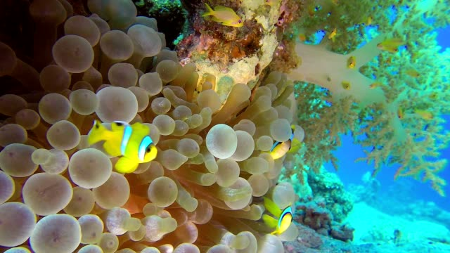 Clownfish and Sea Anemones with Broccoli video