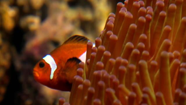 Clownfish Anemone - video
