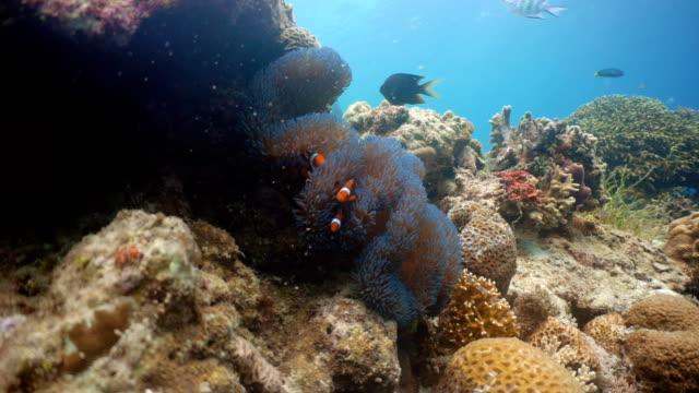 Clownfish Anemonefish in anemone video