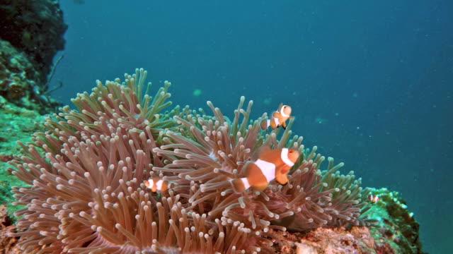 clownfish i undervattens havet anemone - iktyologi bildbanksvideor och videomaterial från bakom kulisserna