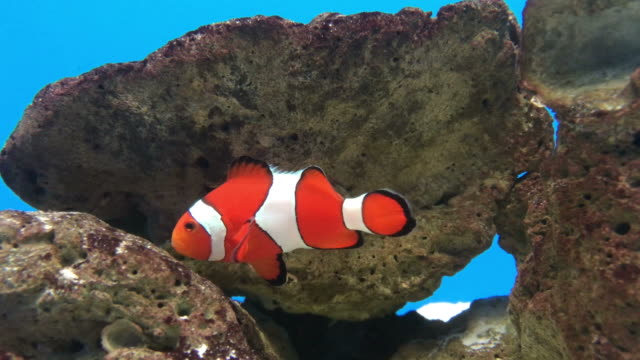 clownfish swimming in the underwater clownfish swimming in the underwater storage tank stock videos & royalty-free footage