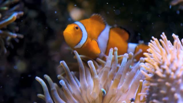 clownfish swims over an anemone - armonia video stock e b–roll