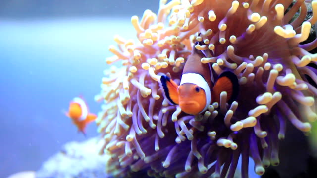 clownfish clownfish with anemone underwater sea storage tank stock videos & royalty-free footage