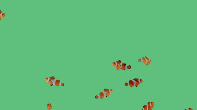Clownfish A school of clownfish swimming playfully around an aquarium on green screen. fish stock videos & royalty-free footage