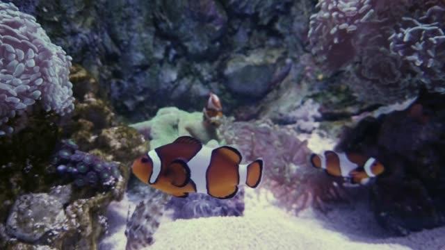 clownfische im aquarium, nahaufnahme - aquarium oder zoo stock-videos und b-roll-filmmaterial
