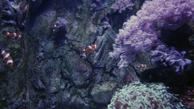 clownfische im aquarium - aquarium oder zoo stock-videos und b-roll-filmmaterial