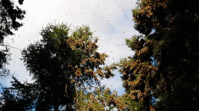 cluster of monarchs on tree branches of fir in mexico - farfalla ramo video stock e b–roll