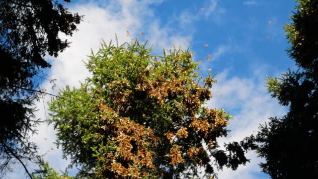 gruppo di monarchi sull'arto degli alberi della foresta di abeti in messico - farfalla ramo video stock e b–roll