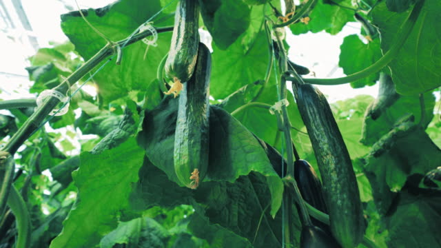 clusters of cucumbers hanging among the green leaves - cetriolo video stock e b–roll
