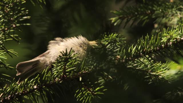 Coal tit (Periparus ater) - Khingan nature reserve