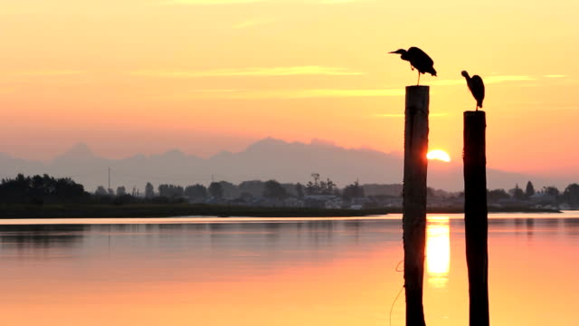 Coast Mountains, Fraser River, Sunrise Herons Silouette of two Great Blue Herons on pilings preening feathers at sunrise seen from Delta, British Columbia near Vancouver. The waterway is the Fraser River near it's mouth as it makes it's way to the Pacific Ocean. fraser river stock videos & royalty-free footage