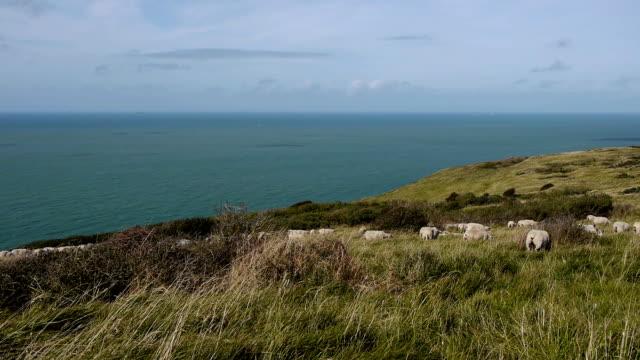 vidéos et rushes de littoral près de calais, france - mouton