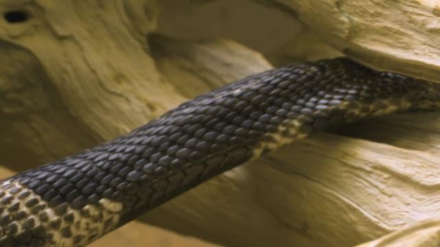 vidéos et rushes de plan de cobra vers le haut de la tête - reptile