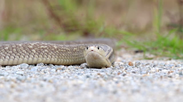 Cobra fierce and aggressive video
