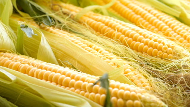 cobs of crude maize video