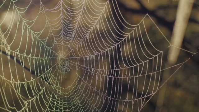 cobweb med morning dew under en soluppgång i träsk - spindelväv bildbanksvideor och videomaterial från bakom kulisserna