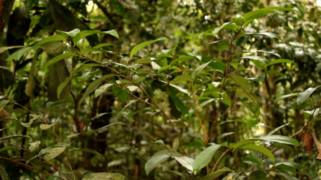 Coca bush (Erythroxylum sp.) Growing wild in the Ecuadorian upper Amazon at 940m elevation. narcotic stock videos & royalty-free footage