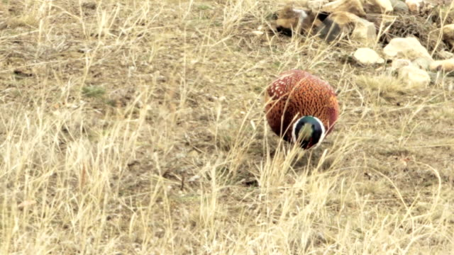 Cock- Common Pheasant video