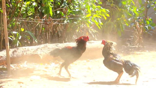vídeos y material grabado en eventos de stock de pelea de gallos en la naturaleza - lucha