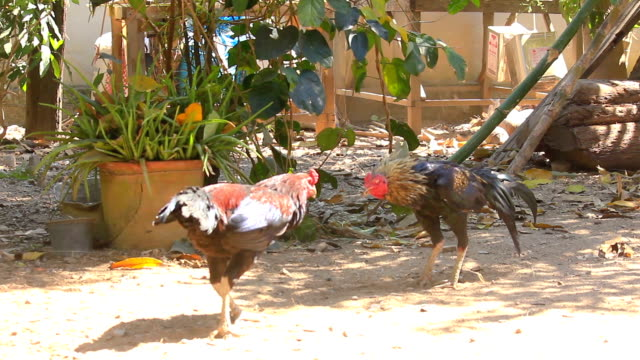 Cock fighting in nature video